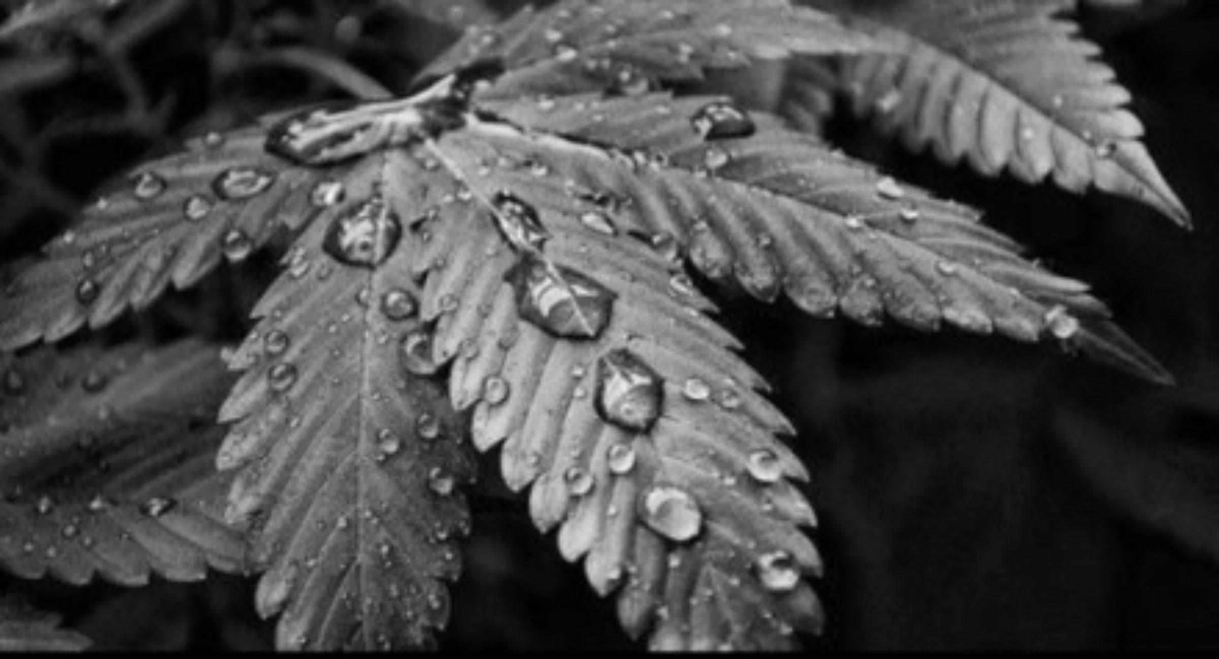 Emerald Zoo Den: Big Ass Cannabis Fan Leaf black and white