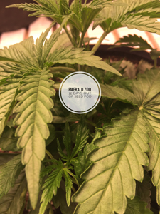 Emerald Zoo Den: Cannabis plants in veg.