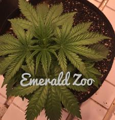 Emerald Zoo Den: Zoo News Graphic. Cannabis news