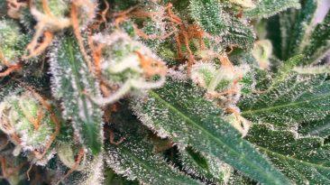 Emerald Zoo Den: Cannabis Getting Sugary Nugs