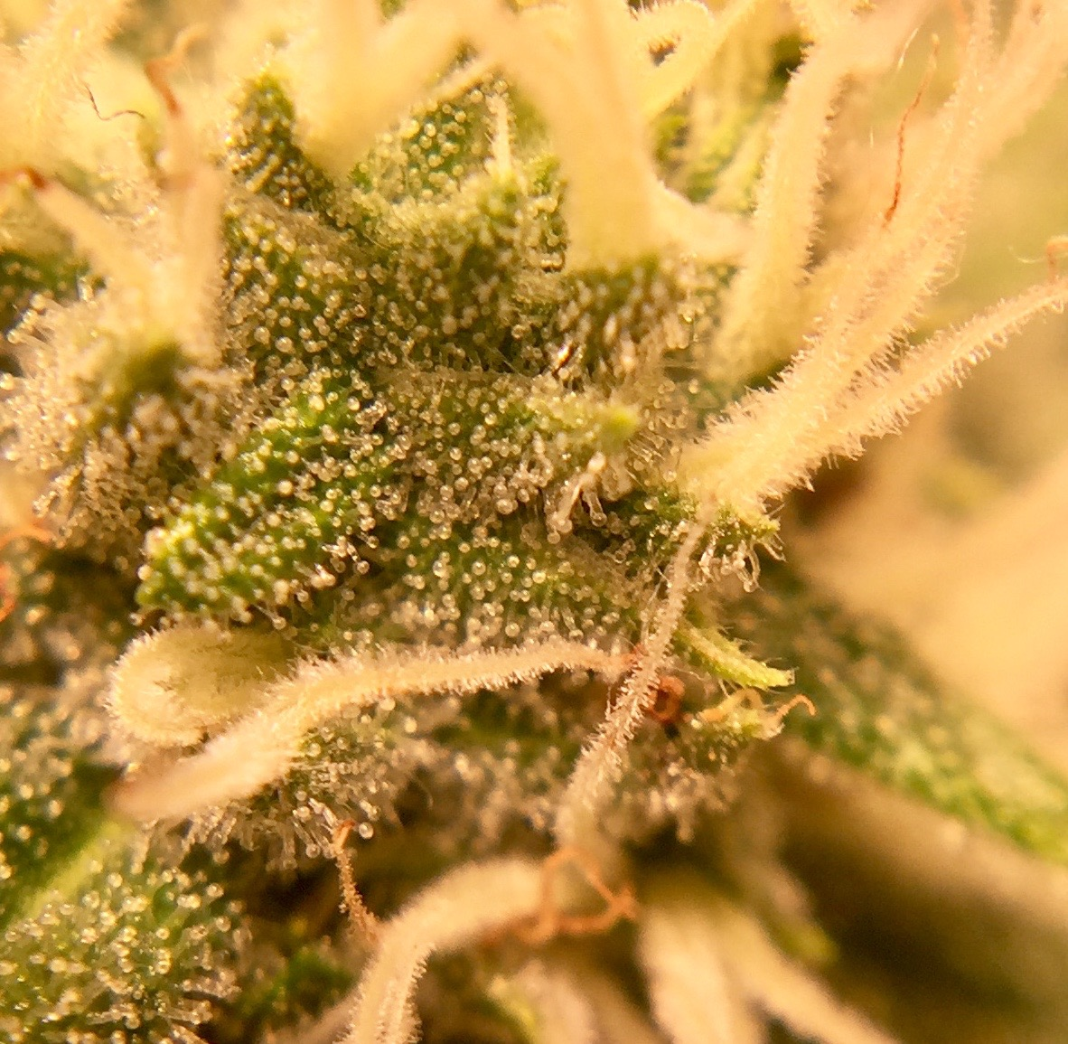 Emerald Zoo Den: Cannabis Sugary Flower