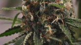 Emerald Zoo: Cannabis Flower Starting to Sugar